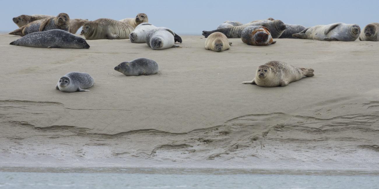 Phoques veau-marin échoués sur leur reposoir (bance de sable) en baie de Somme